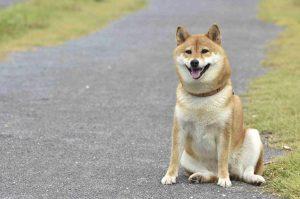 柴犬の飼い方