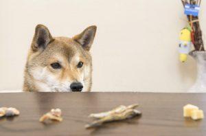 柴犬の生活習慣 マンネリ
