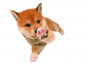 柴犬の肉球