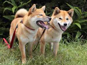 老犬と若犬の多頭飼い
