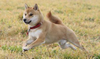 最近、モヤシっ子が犬にも増えてない? 今年こそマッチョな柴犬になりたい!