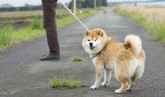 いま、散歩嫌いな犬が増えている!?歩きたがらない理由と克服方法