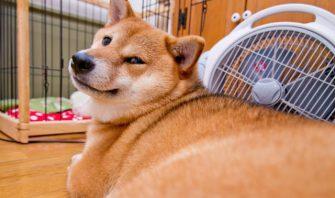 【デブっている場合じゃない!】犬の食生活を見直してダイエットを始めよう!