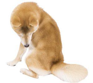柴犬のボディランゲージ