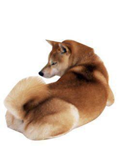 柴犬の肛門の病気