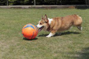 コーギーとサッカーボール