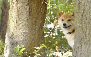 柴犬の性格 頑固
