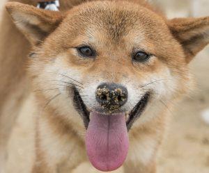 警戒する柴犬