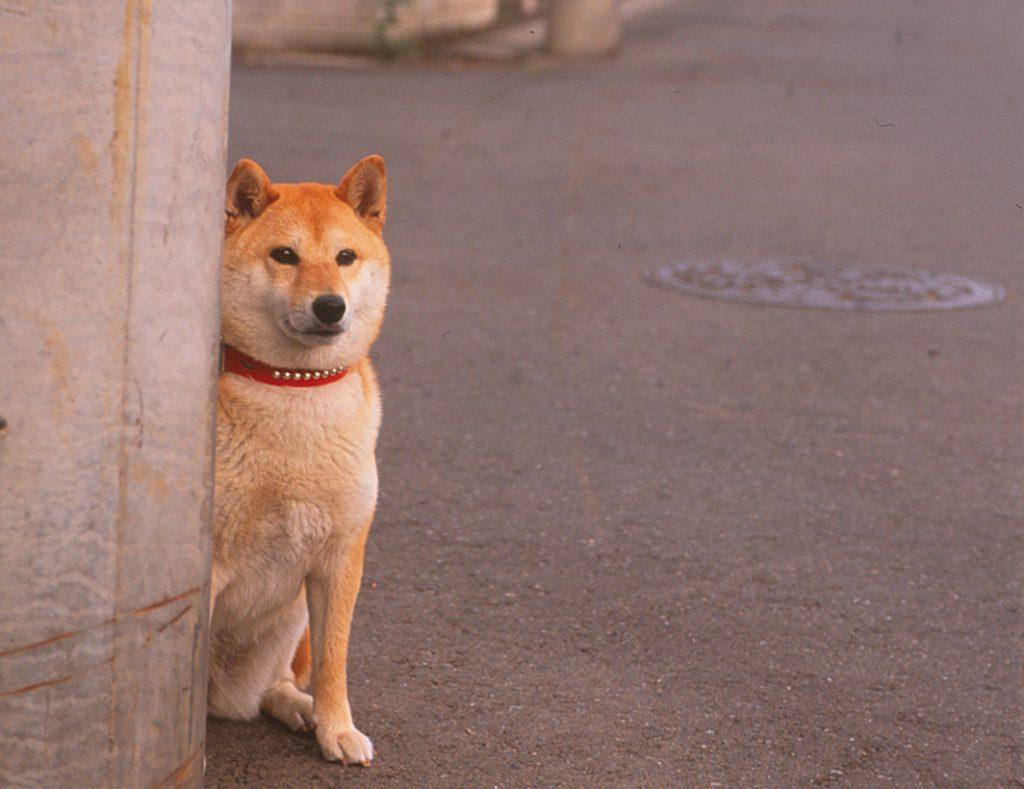 日本犬が喧嘩を売られやすい理由