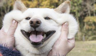 伸びろ犬の皮!柴犬の皮膚に込められた無限の可能性を探れ!