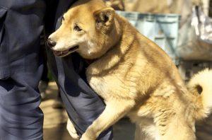 ダブルコートの柴犬