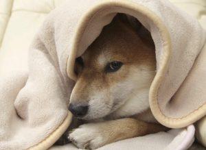 犬とアイコンタクト