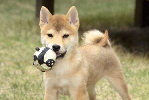 日本犬の社会化