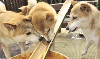 そうめん、すいか、アイスetc……夏の食事の注意点と犬用かき氷レシピ!
