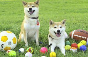 柴犬のボール遊び