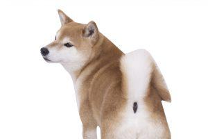 柴犬のおしり