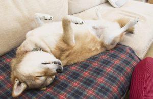 柴犬と添い寝