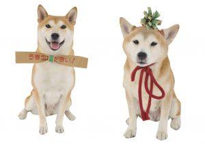 柴犬と段ボール