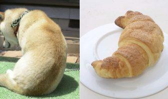 ベーグル、いなり、クロワッサン…柴犬とそっくりなものを探せ!