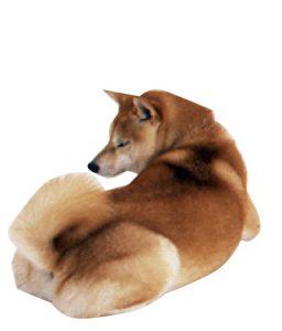 柴犬のカーミングシグナル