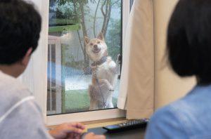 硬派な柴犬