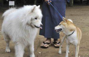 柴犬の挨拶