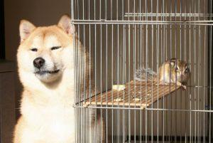 柴犬の多頭飼い