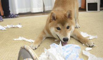 【犬の謝罪会見】愛犬は問題行動に号泣しつつ反省しているのか!?