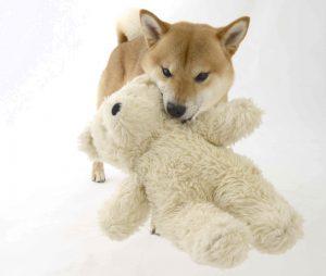 柴犬の赤ちゃん的生態