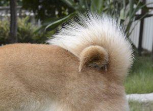 柴犬の巻き尾
