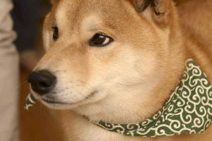 柴犬の感情表現