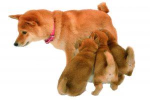 柴犬の子犬 育て方