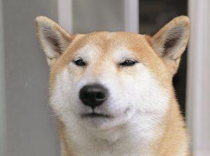 柴犬の表情