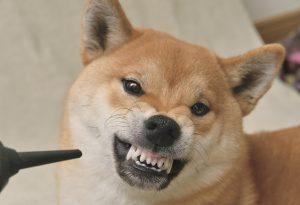 柴犬の怒っている顔