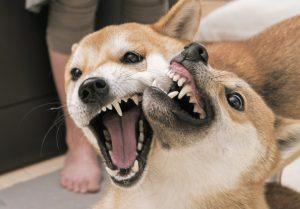 柴犬の怒り顔