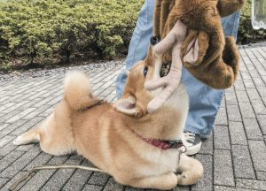柴犬の狩猟本能