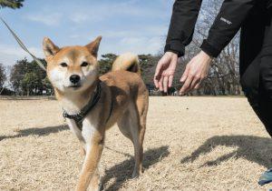フレンドリーな柴犬