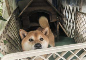柴犬の外飼い