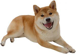 日本犬の甘え