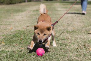 日本犬の遊び