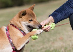 日本犬との遊び方