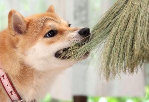 柴犬とほうき
