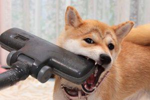 柴犬と掃除機