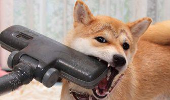 柴犬vs掃除機 宿命のライバル対決!スイッチオンでゴングが響く!