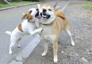 噛まれる柴犬