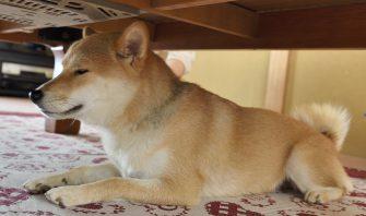 【柴犬ストー部はじめました!】暖房器具で起こるリスクと安全な使い方