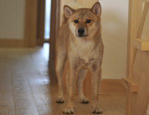 柴犬のお出迎え