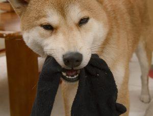 汚い物を好む犬