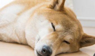 一番気持ちのいい睡眠スタイル、ご提案します。柴犬の寝心地調べ隊!!