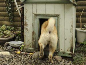 犬小屋に入らない犬